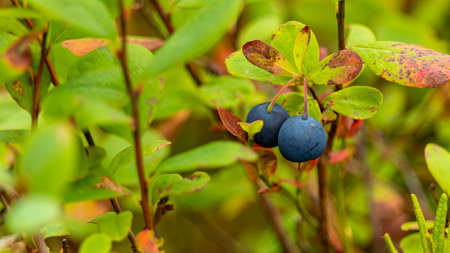 two ripe blueberries on a large Bush macro photography