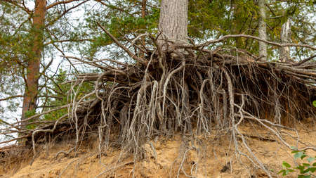 the roots of the pine-trees on the crumbling clay sandy shore Foto de archivo