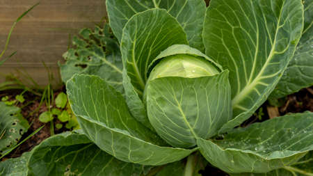a large headlarge ripe cabbage head in the garden with dew drops of cabbage in the garden with dew drops