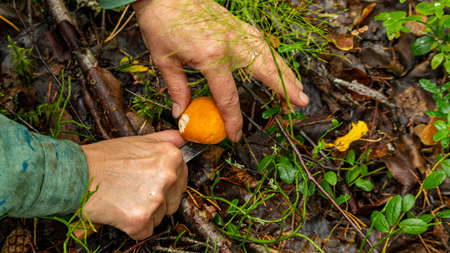 mushroom picker cuts a small mushroom with a knife, soft focus Foto de archivo