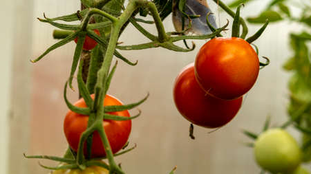 red tomatoes on a branch in a greenhouse, soft focus Foto de archivo