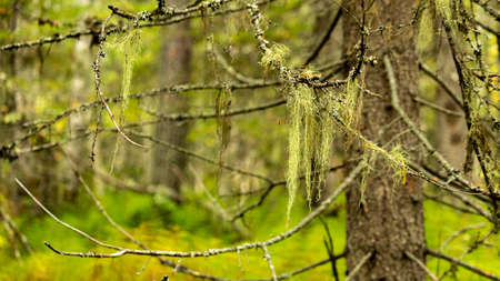 long moss hangs frolong moss hangs from an old tree in a dense forestm an old tree