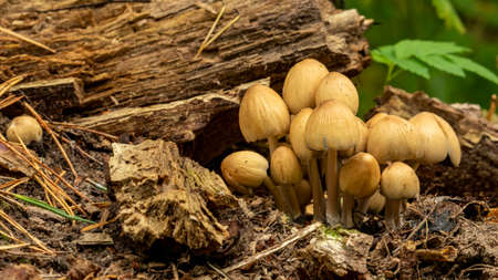 many edible mushrooms have grown from the old stump of the tree, backgrounds Foto de archivo - 155665912