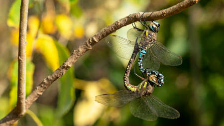 two mating dragonflies on a branch, macro photography, soft focus Foto de archivo