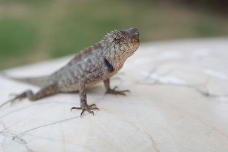 climbed: Lizard climbed on the stone and allowed himself to be photographed. I approached for macro   photography. The photo was taken in Thailand Stock Photo