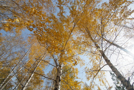 birch trees: views of the sky along trunks of birch trees. Autumn. Bright yellow leaves in Sunny day
