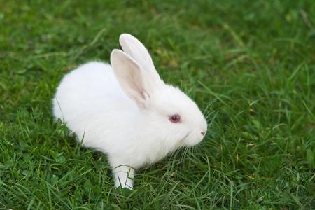 young rabbit: Le petit lapin tout blanc sur l'herbe Banque d'images