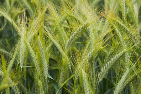 Close Up barley field with dew photo
