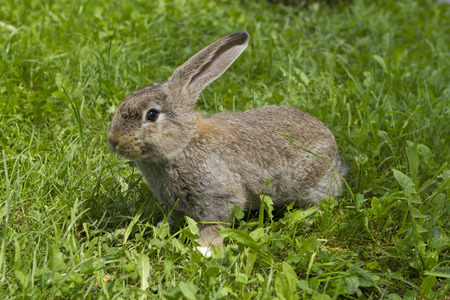 animal vein: Brown domestic rabbit on the green grass