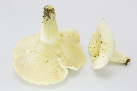 peppery: Lactifluus piperatus ( Lactarius piperatus), commonly known as the peppery milk-cap Stock Photo