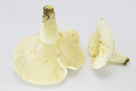 milkcap: Lactifluus piperatus ( Lactarius piperatus), commonly known as the peppery milk-cap Stock Photo