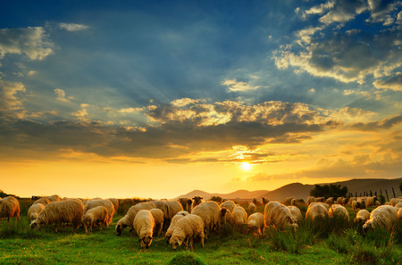 flock: Flock of sheep grazing in a hill at sunset.