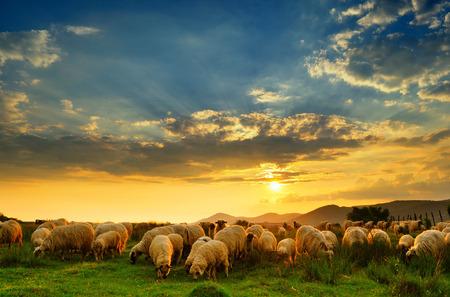 Kudde schapen grazen in een heuvel bij zonsondergang.