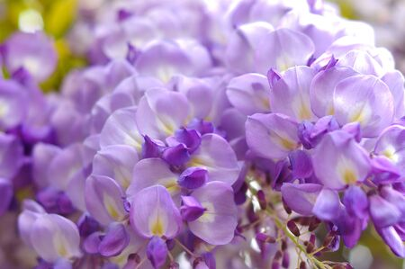 Wisteria blooming in the spring