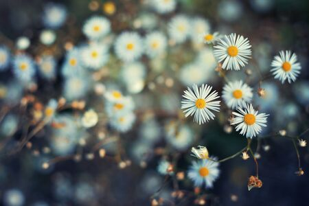 Close up of daisies with a blurred background Zdjęcie Seryjne