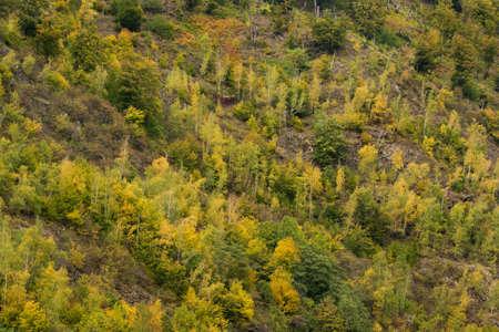 Aerial view of birch forest in autumn