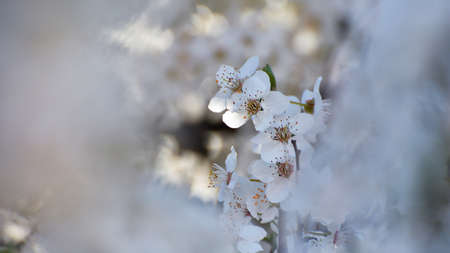 White flowers in the spring against beautiful out of focus background Stockfoto