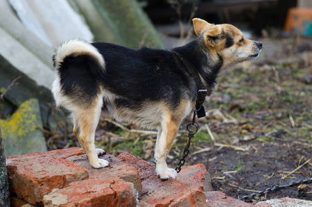 mongrel: The little mongrel on chain. Yard dog guards the house.