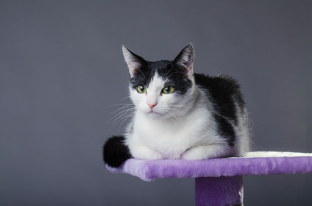 clawing: Cute black and white cat with green eyes, portrait. The cat sits on the scratching, on a gray background.