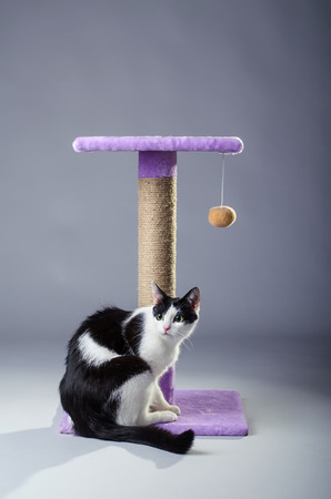 clawing: Black and white cat near the scratching posts, on a gray background. Beautiful cat playing.