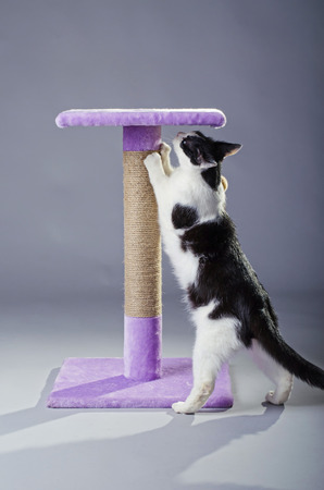 clawing: Black and white cat sharpening its claws on a scratching post, on a gray background. Beautiful cat playing.