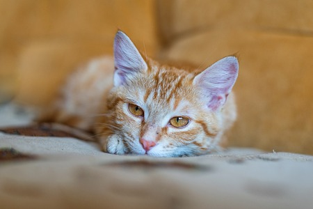Portrait of ginger cat lying on the orange sofa. Red-haired kitten close-up.