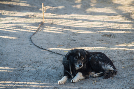 Shaggy yard dog on a leash. Rural dog on the chain.