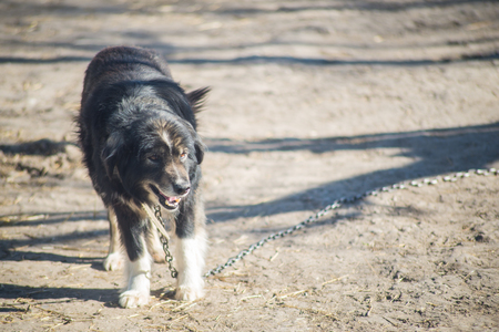 Shaggy mongrel on the chain. Rural dog on a leash. Stock Photo