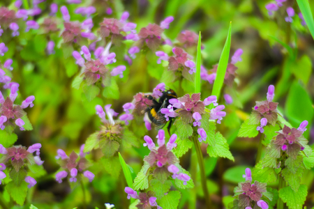 Large fluffy bumblebee closeup. Background with a bumblebee pollinating flowers. Standard-Bild - 121482209