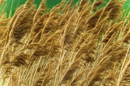 Spring reeds texture. Bulrush. Standard-Bild - 121482225