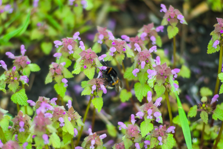 Large fluffy bumblebee closeup. Background with a bumblebee pollinating flowers. Standard-Bild - 121482654