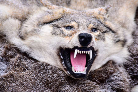 Stuffed wolf, wild wolf skin, head with a grin, close-up