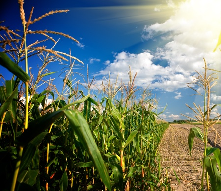 Edge of a corn field in the afternoon photo