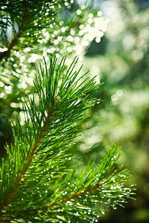 branch of pinetree photo