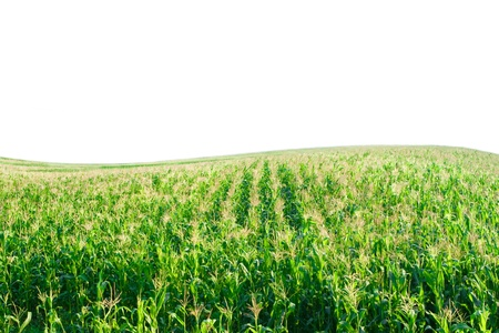 corn field with Hill