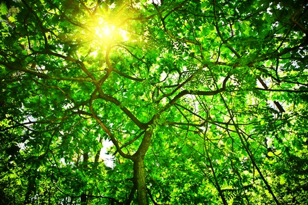 crone of the tree with sun photo