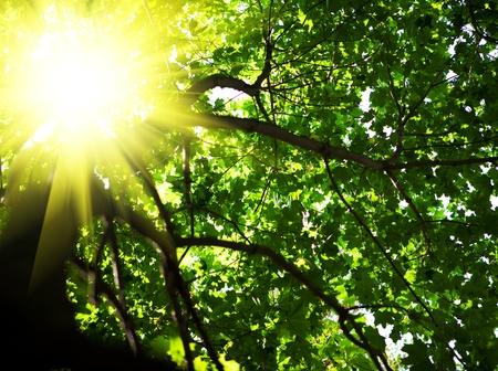 crone of tree with sun photo