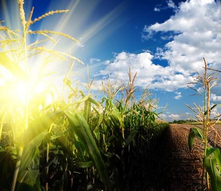 planta de maiz: amanecer en el campo de maíz Foto de archivo