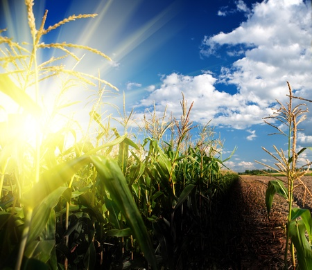 lever de soleil sur un champ de maïs