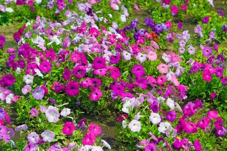 magentas: flower background Stock Photo