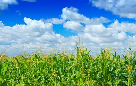 monoculture: plants of corn monoculture blue sky Stock Photo
