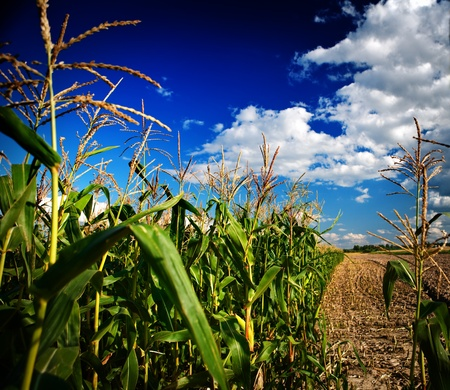dark corn field Stock Photo