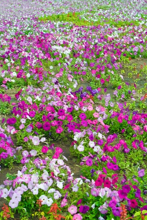 magentas: flowers