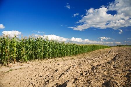 side of cornfield photo