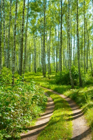 road in birch forest photo
