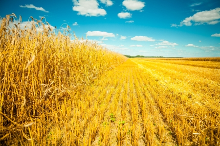 wheat field at harvesting photo