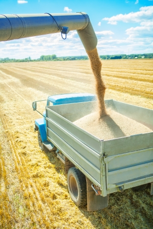 wheat harvesting photo
