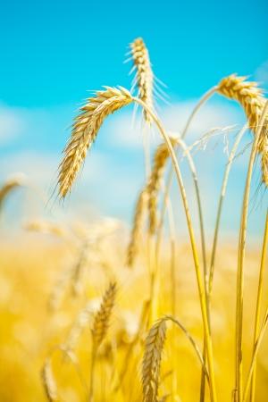 macroshot: macroshot of wheat plants