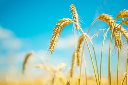 plants of wheat photo