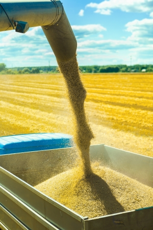 wheat harvesting Standard-Bild